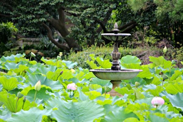 The lily pond - Botanic Gardens Walk Sydney