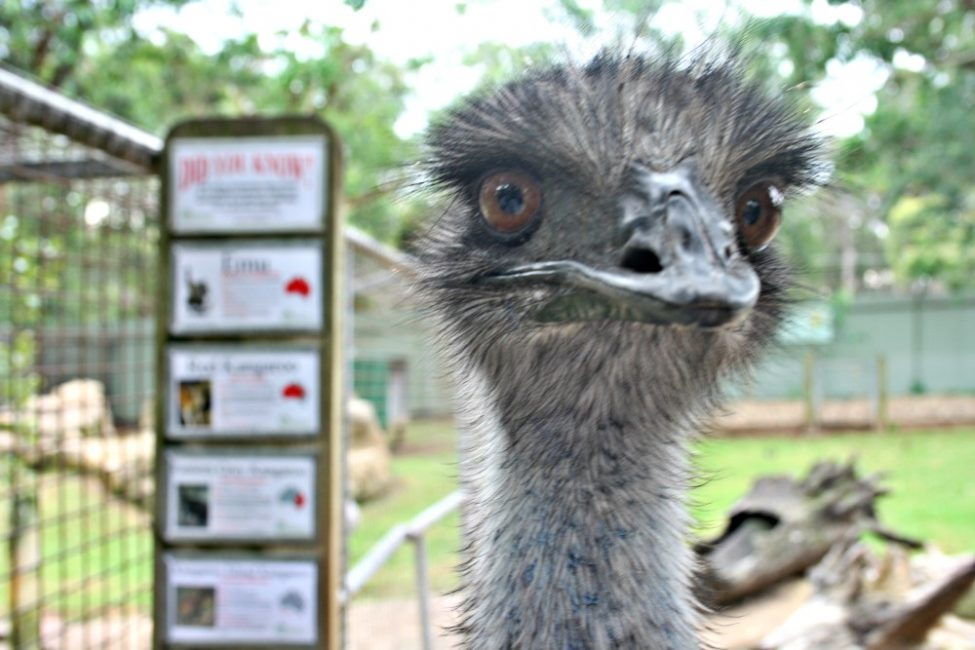 Where to see australian animals | Featherdale emu