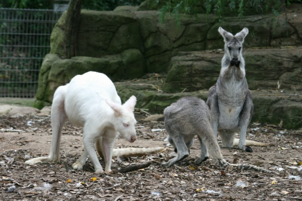 Where to see animals in Sydney | Featherdale albino kangaroo