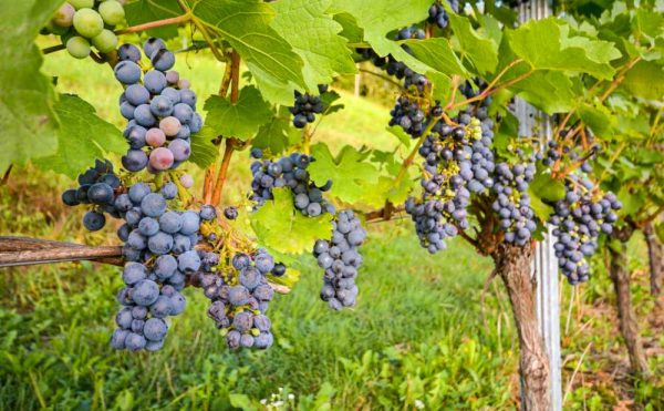 Wine grapes on the vine in Hunter Valley