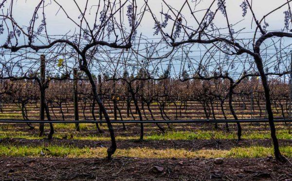 Hunter Valley vines in winter
