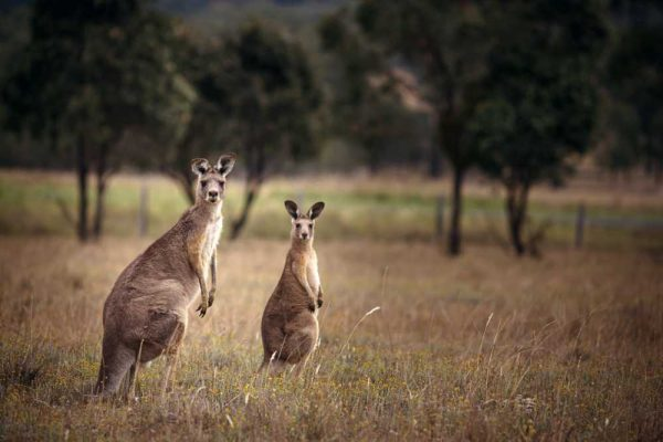 Kangaroos in the Hunter Valley