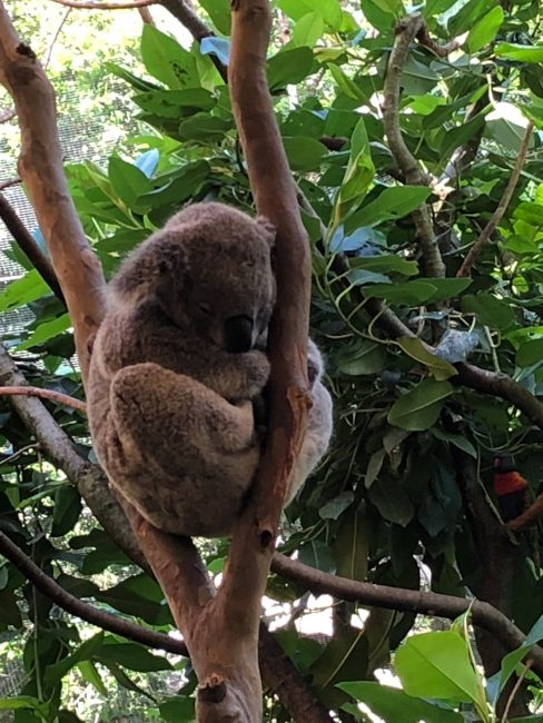 Blackbutt Newcastle Koala