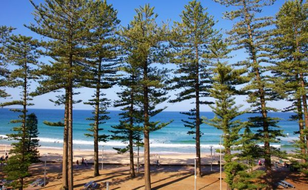 Manly Beach Sydney Norfolk Pine trees
