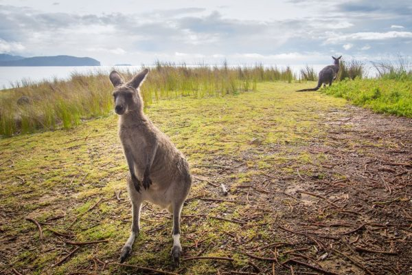 A Kangaroo at Murramarang NSW south coast