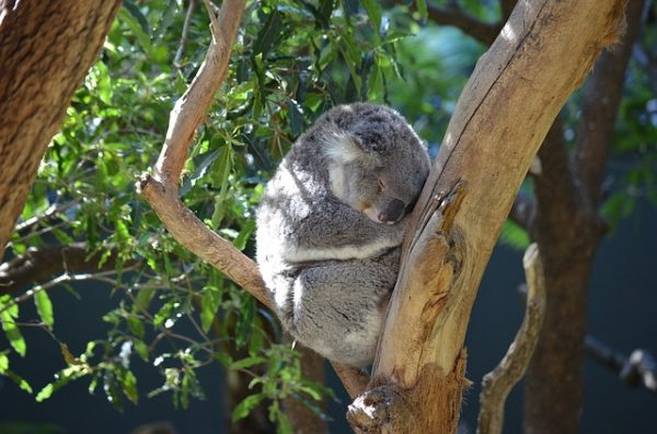 Koala at Raymond Island