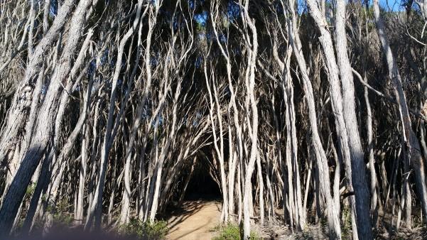 Mallacoota Trees Victoria