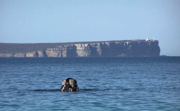 Jervis Bay Wild Point Perpendicular Whale