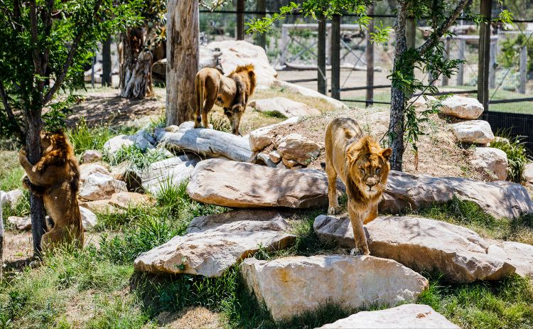 Lions at Sydney Zoo