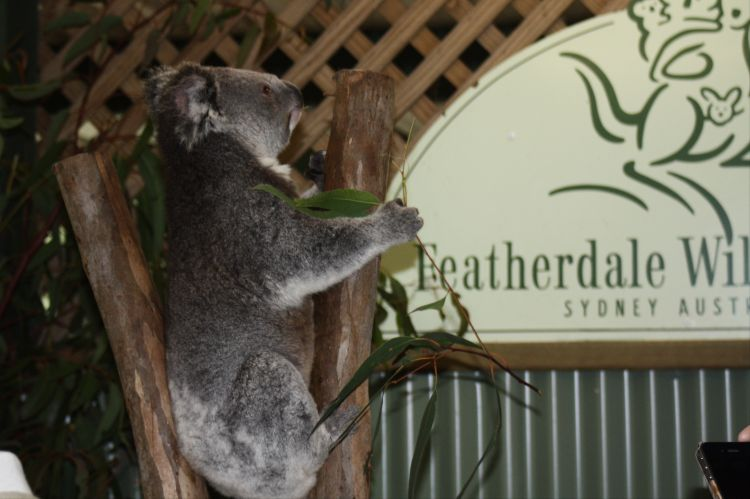 Koala at Featherdale
