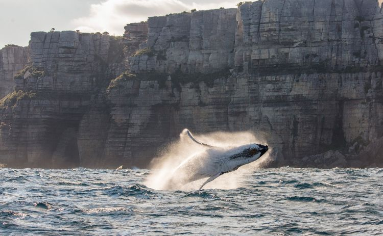 Whale jumping in Sydney